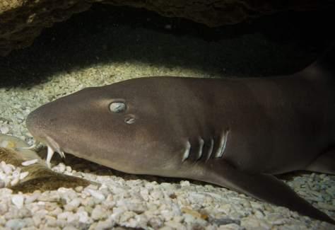 nursehound_sam_mcclements_diving