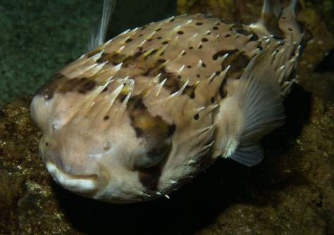 puffer_fish_blue_reef_hastings