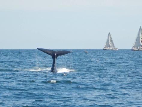 whale_atlantic_ocean